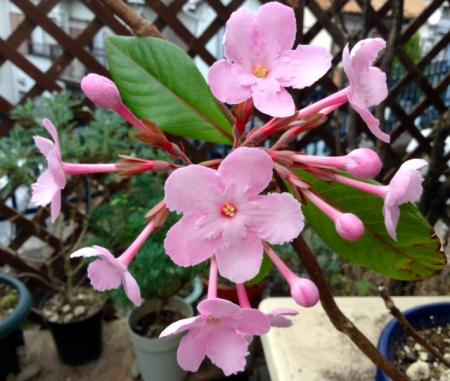 S20160120匂い桜