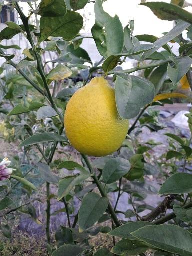 20160131_レモン酒