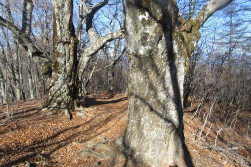 ブナ、ミズナラ巨木