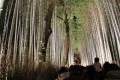 ①輝く竹林を見る人々