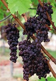 grape_20160107015600f01.jpg