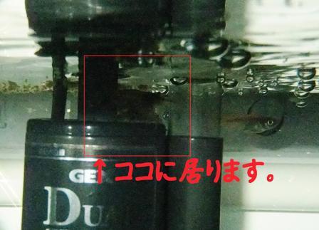 メダカ20151217②