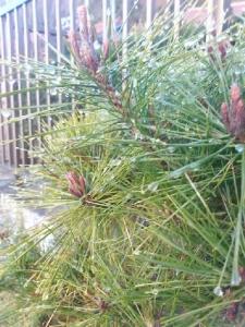 しずくが凍った松の葉