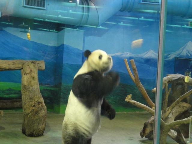 2016年1月22日 台北市立動物園 えさとり團團1