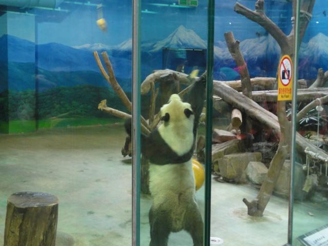 2016年1月22日 台北市立動物園 えさとり團團3