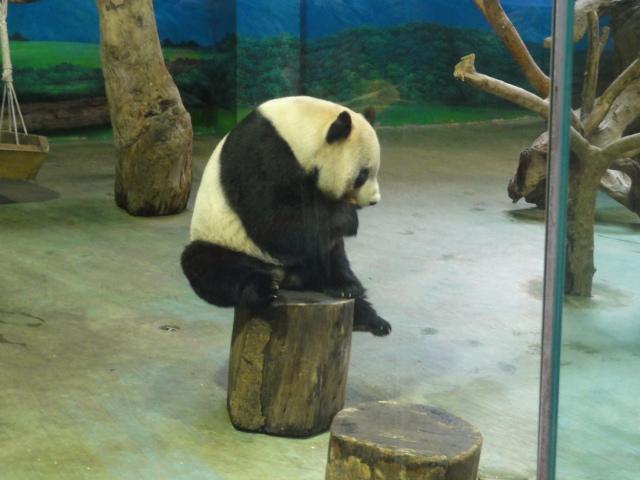2016年1月22日 台北市立動物園 えさとり團團4