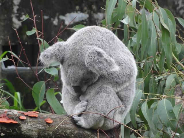 2016年1月22日 台北市立動物園 尻尾のない熊