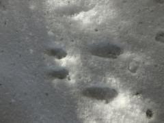 エゾリスの足跡?