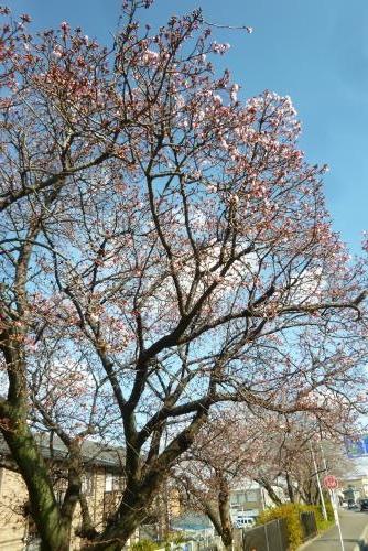 早咲き桜 2016