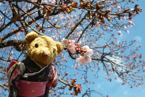 早咲き桜 2016 (ベァー)