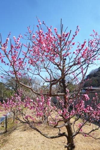 梅の花 (西の丸広場)