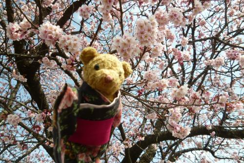 早咲き桜 2016 2月 (ベァー)