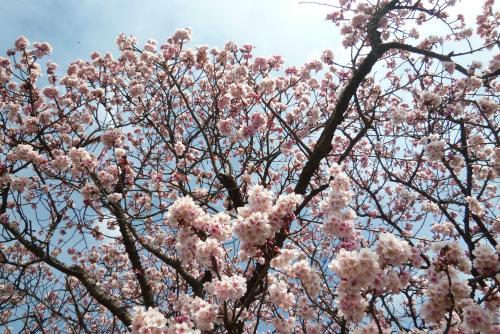 早咲き桜 2016 2月
