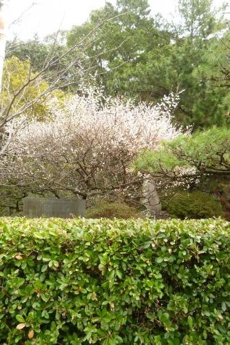 梅の花 (追廻門) 2016