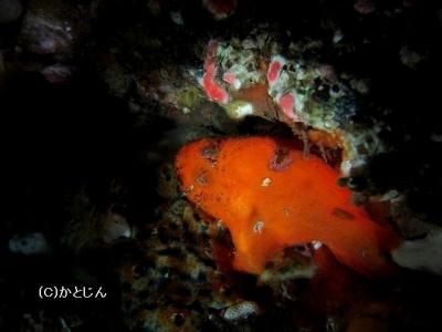 130 ベニカエル貝から出る