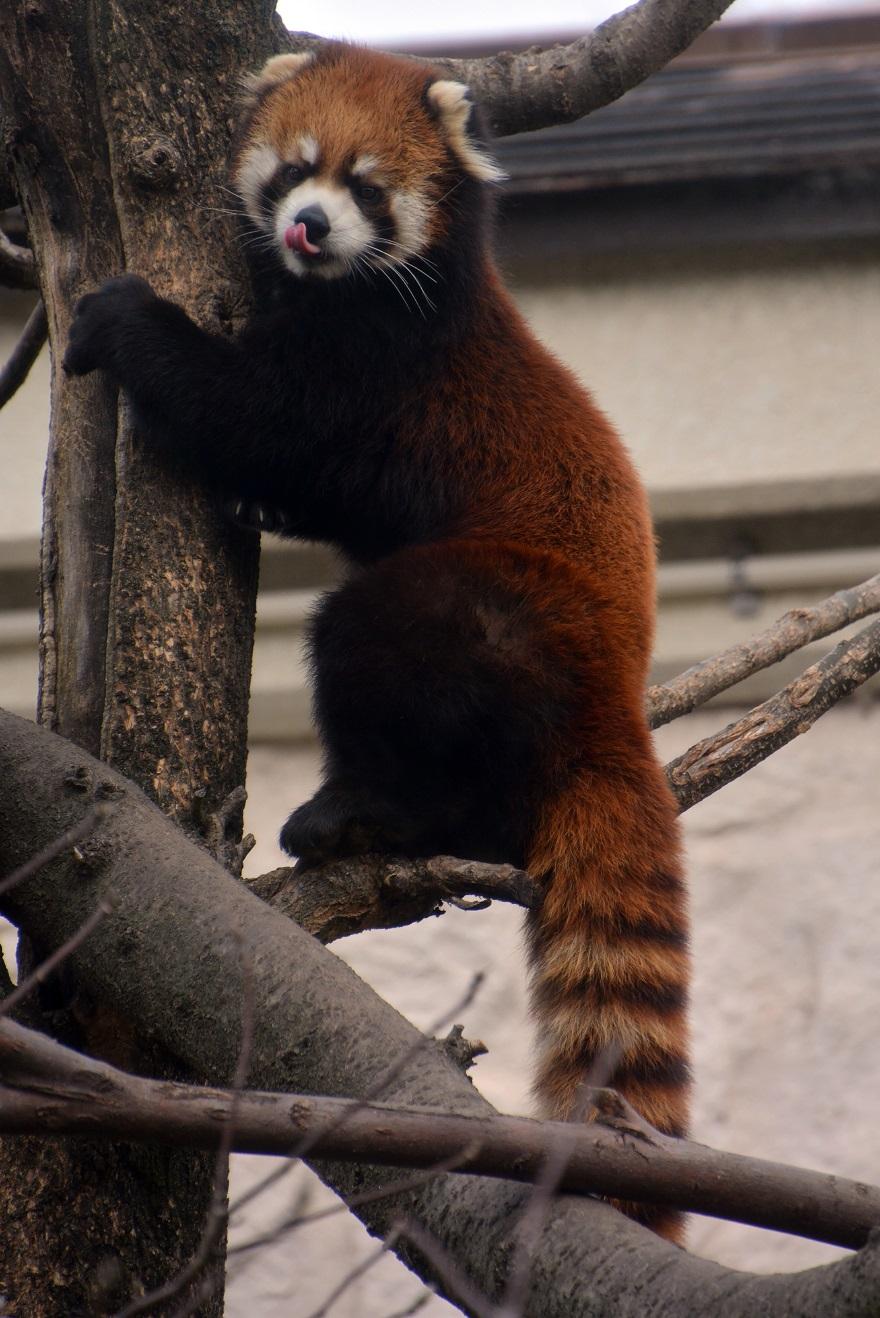 レッサーパンダ (7)