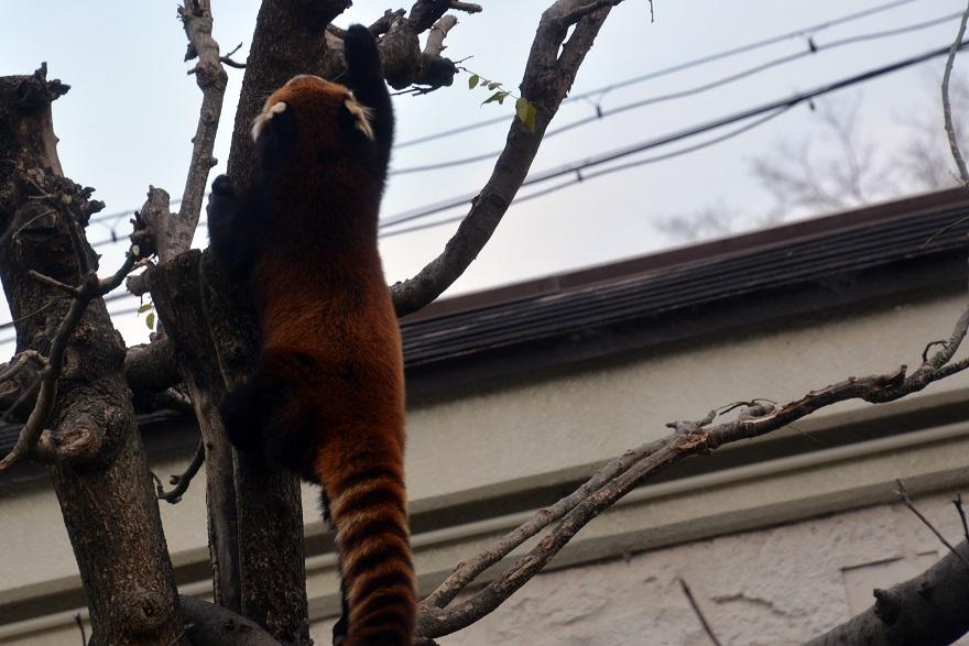 レッサーパンダ (12)