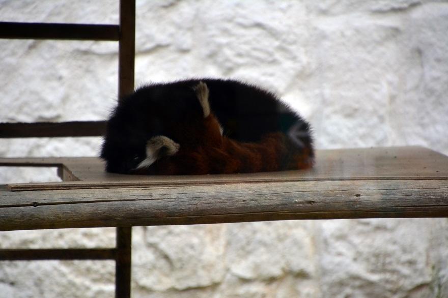 レッサーパンダ (14)