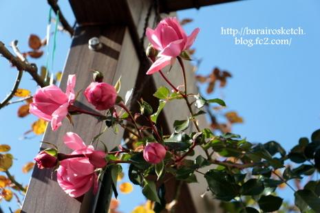 バラの葉っぱ1