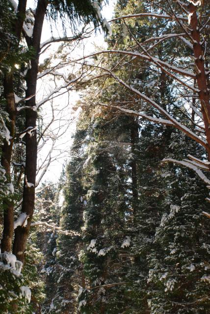 雪をかぶった杉の森