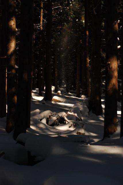 杉林の中を流れる雪煙