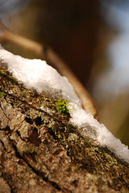 雪がのったコケ