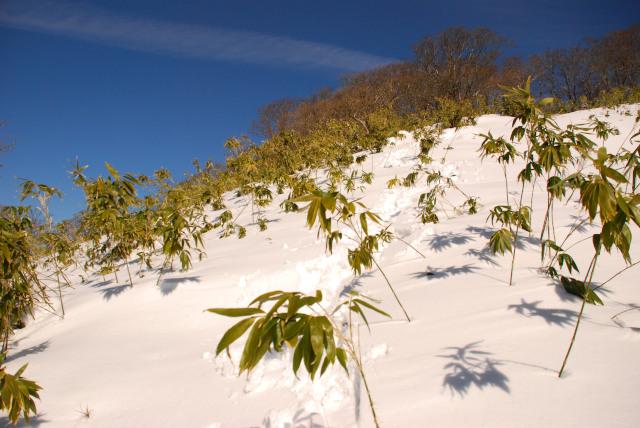 雪から伸びる笹