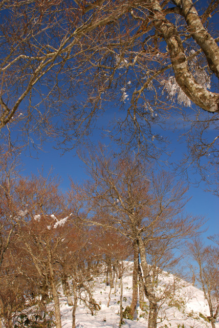 山頂のブナ林_霧氷は落ちていた