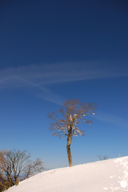 雪の上に生えるブナの樹