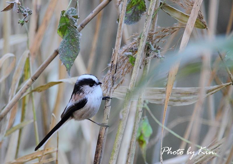 遠征先の鳥さん~エナガ~