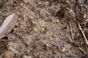 151214グリンピースの芽2