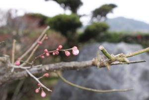 160104梅の花1