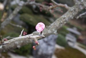 160104梅の花3