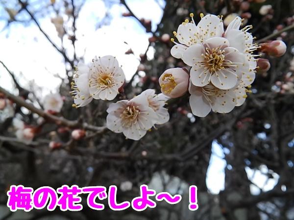 梅の花でしよ