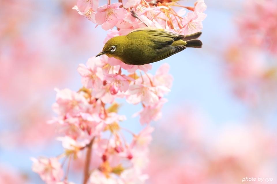 河津桜とメジロちゃん♪_2