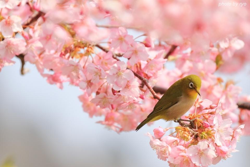 河津桜とメジロちゃん♪_3