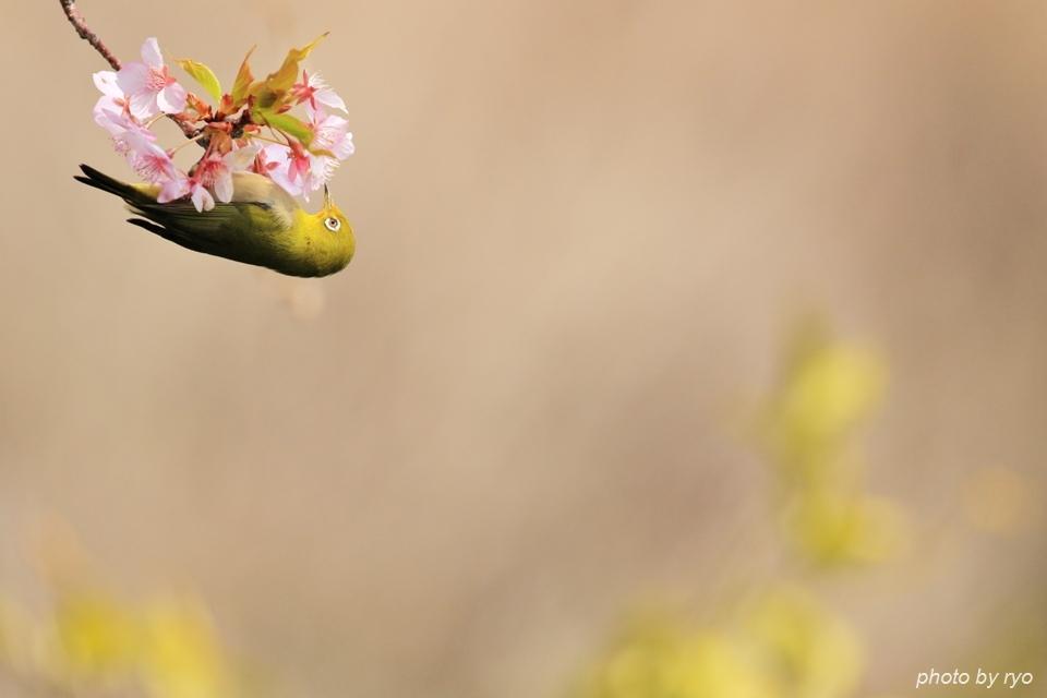 河津桜とメジロちゃん♪_4