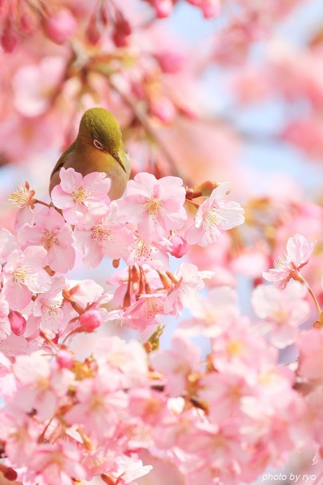 河津桜とメジロちゃん♪_5