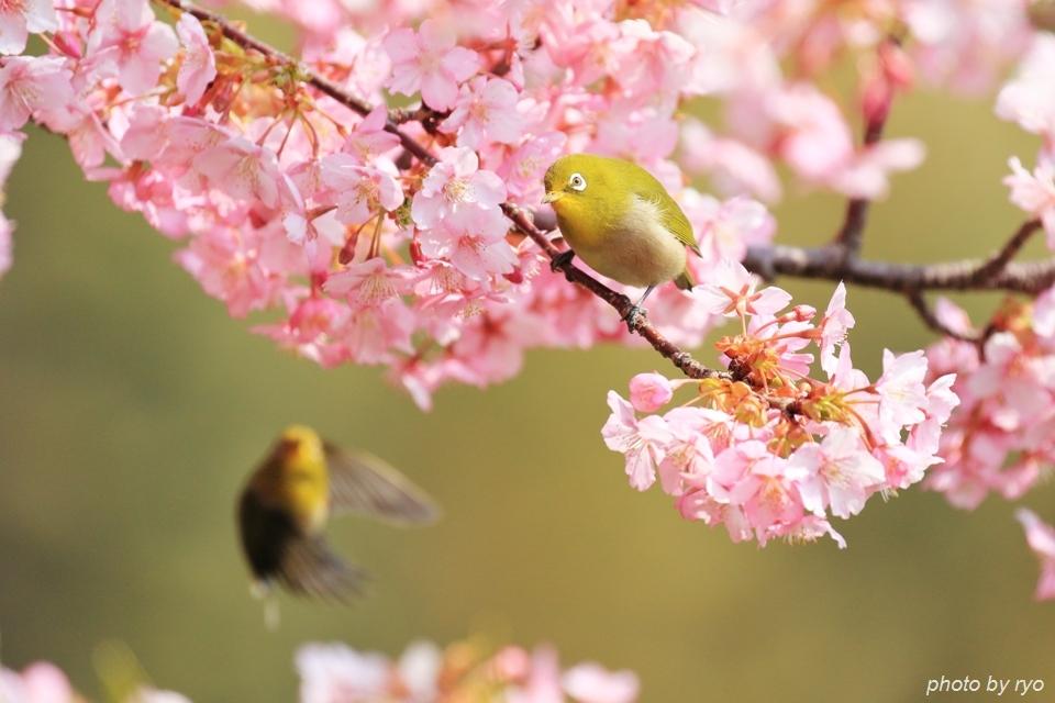 河津桜とメジロちゃん♪_6