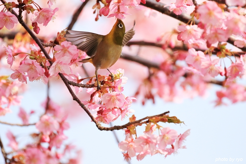 河津桜とメジロちゃん♪_7