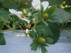 [写真]白いいちごの花が結実し、青いいちごの実になった様子
