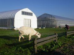 [写真]受付ハウス前で草を食べるアラン