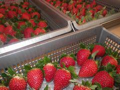 [写真]収穫ケースに並んだ朝採りいちご