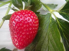 [写真]艶やかな赤色の大粒おいCベリー