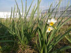 [写真]アランフィールド近くに咲く水仙の花
