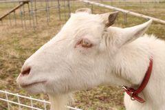 [写真]アラン・フィールドの柵越しに顔をのぞかせるヤギのアラン