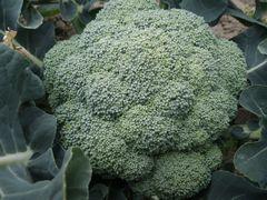 【写真】三郎畑のブロッコリー