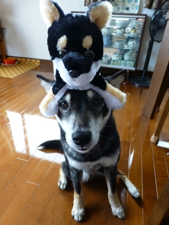 プレミアムパピー 黒柴10