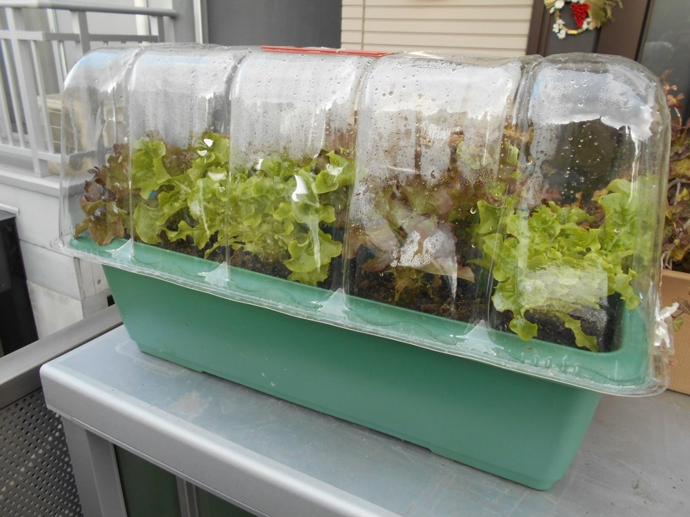 160107mix_lettuce3