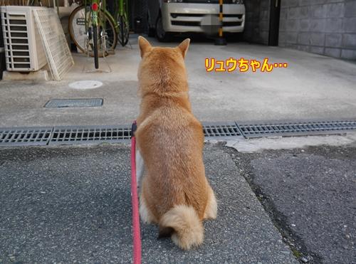 1待つ柴犬女子